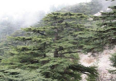 Cedres a Ain Zhalta, al Chouf